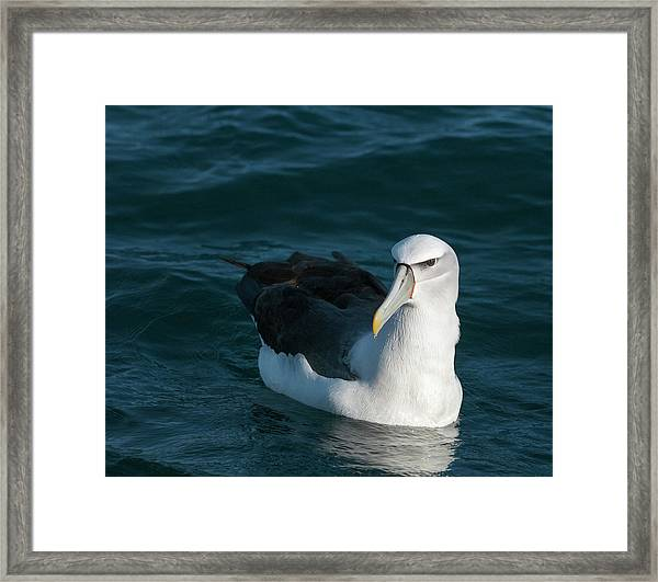 A Portrait Of An Albatross Framed Print