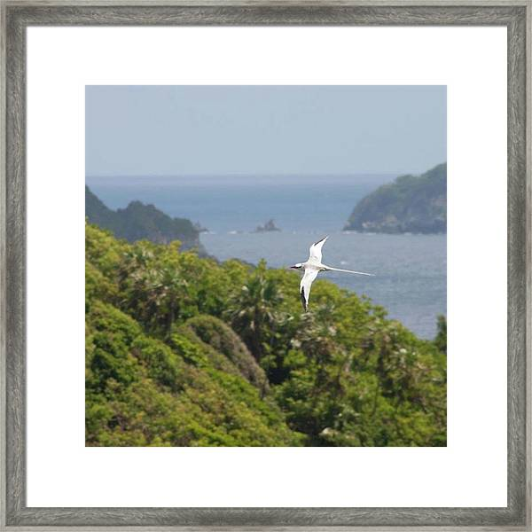 A Red-billed Tropicbird (phaethon Framed Print