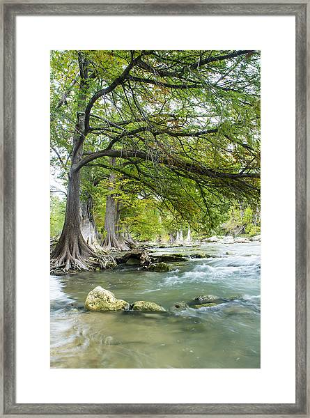 A River Under Bald Cypress Trees Framed Print