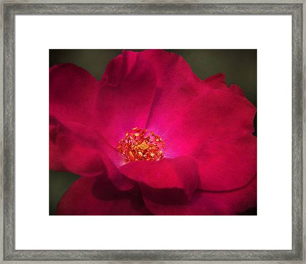 A Rose For My Love Framed Print