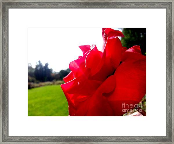 A Rose In The Sun Framed Print