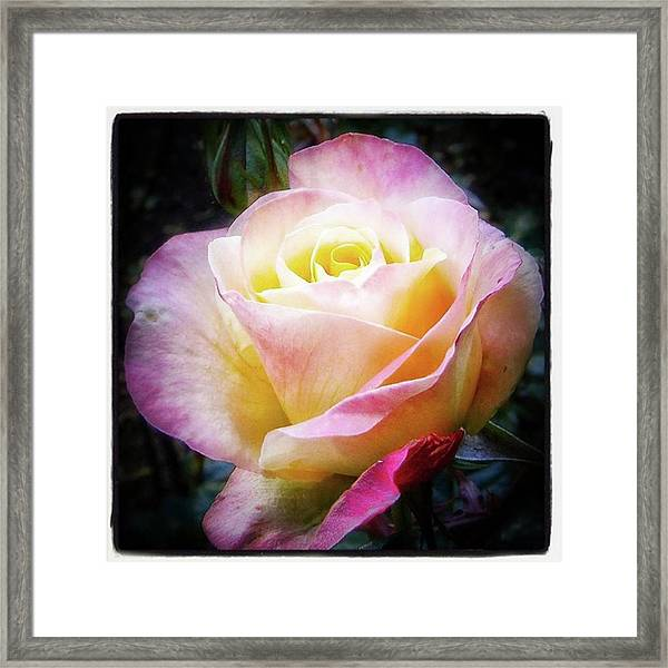 Framed Print featuring the photograph A Rose Is A Rose Is A Rose, Variation by Mr Photojimsf