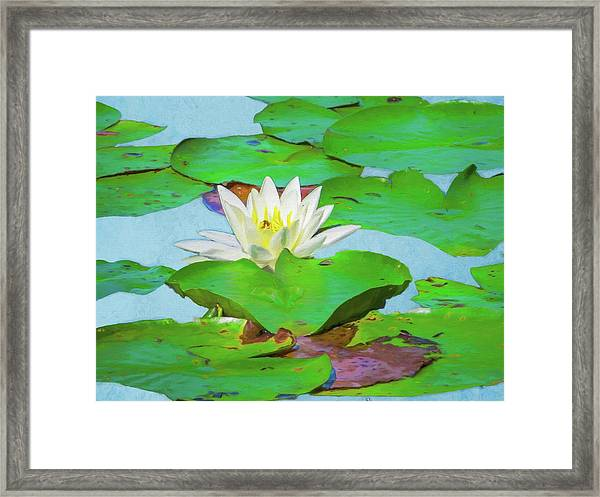 A Single Water Lily Blossom Framed Print