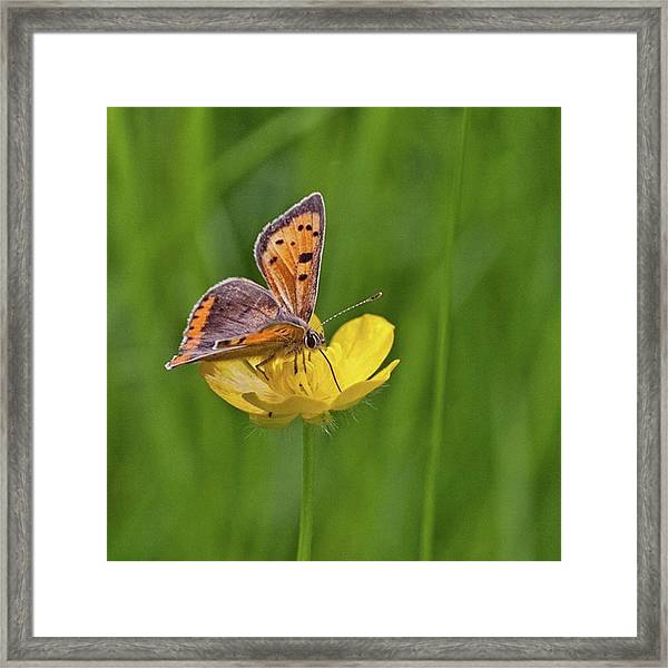 A Small Copper Butterfly (lycaena Framed Print