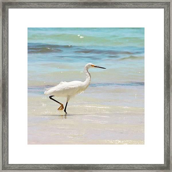 A Snowy Egret (egretta Thula) At Mahoe Framed Print