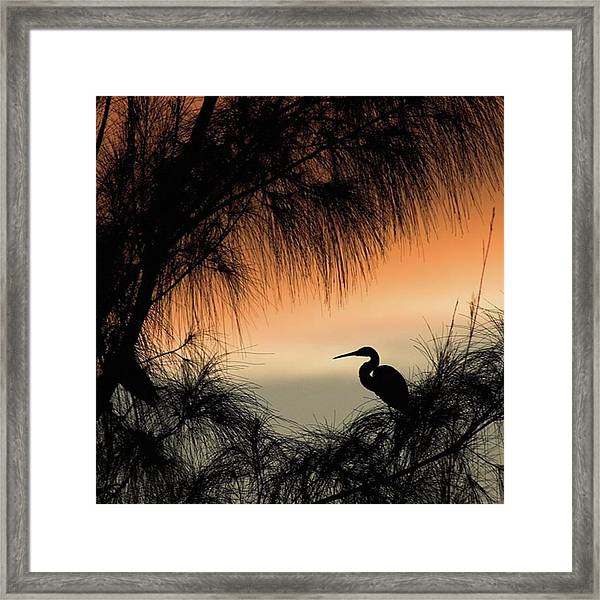 A Snowy Egret (egretta Thula) Settling Framed Print