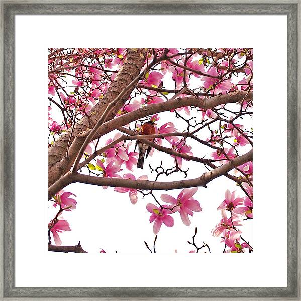 A Songbird In The Magnolia Tree Framed Print