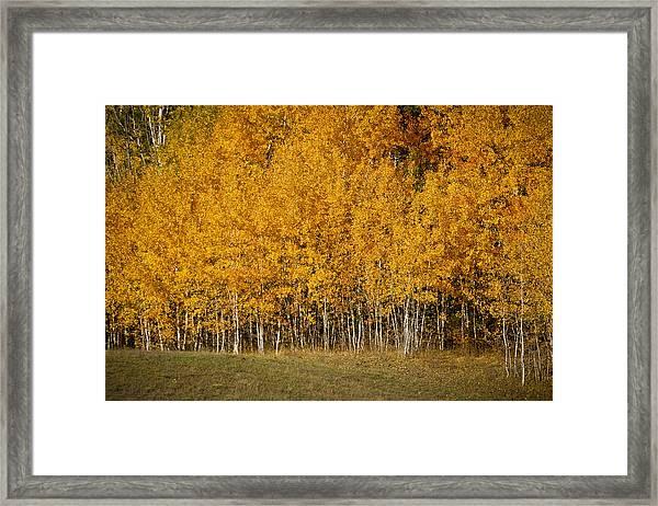 A Stand Of Aspen Framed Print