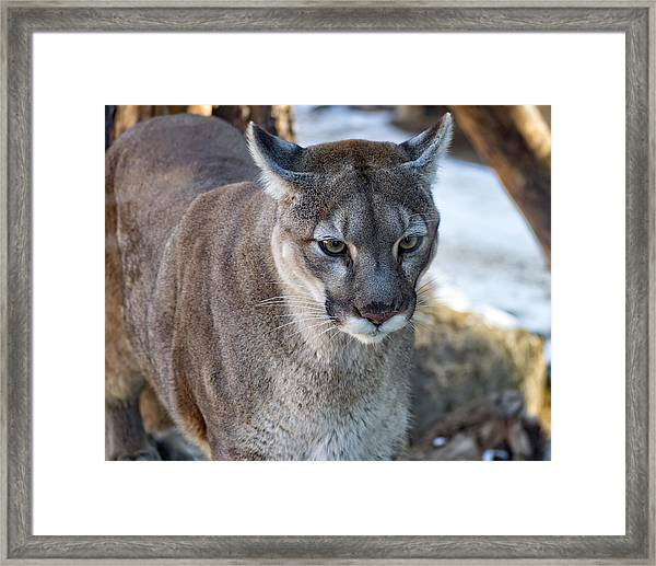 A Stunning Mountain Lion Framed Print