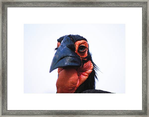 A Very Ugly Bird Framed Print by Carl Purcell