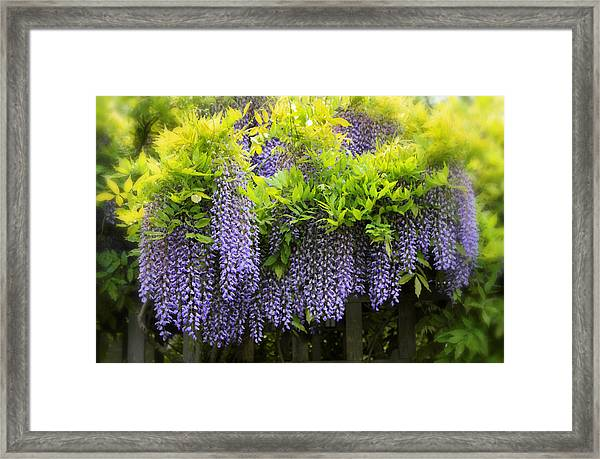 A Wealth Of Wisteria Framed Print