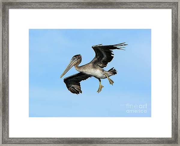 A Young Brown Pelican Flying Framed Print