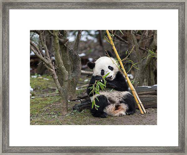 A Young Giant Panda Sitting And Eating Bamboo Framed Print