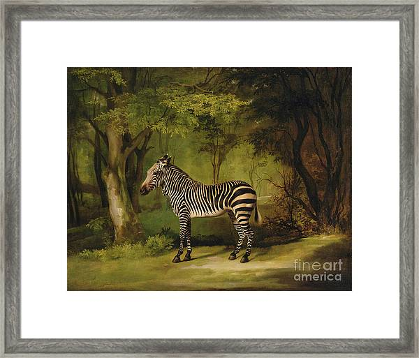 A Zebra Framed Print