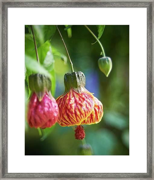 Abutilon Framed Print