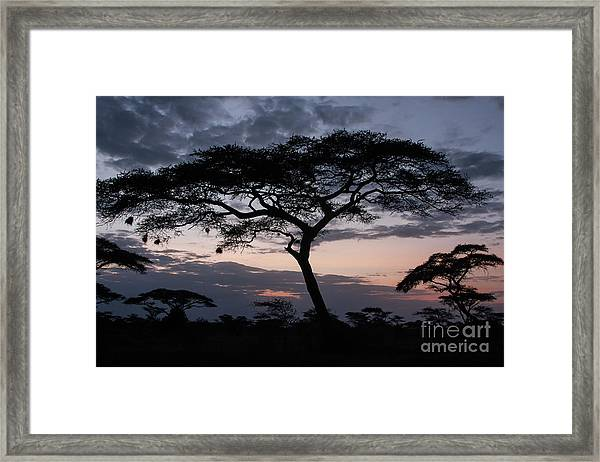 Acacia Trees Sunset Framed Print