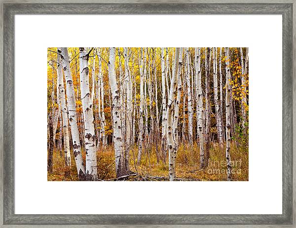 Framed Print featuring the photograph Acadia Birch by Susan Cole Kelly