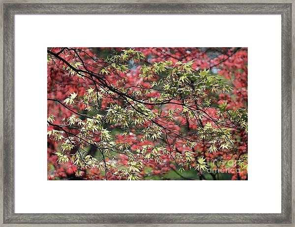 Acer Leaves In Spring Framed Print
