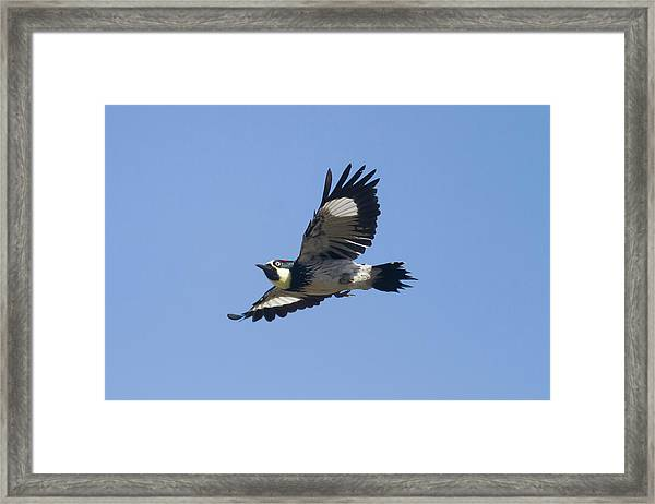 Acorn Woodpecker Framed Print