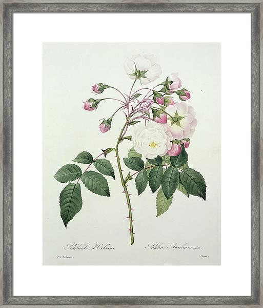 Adelia Aurelianensis Framed Print