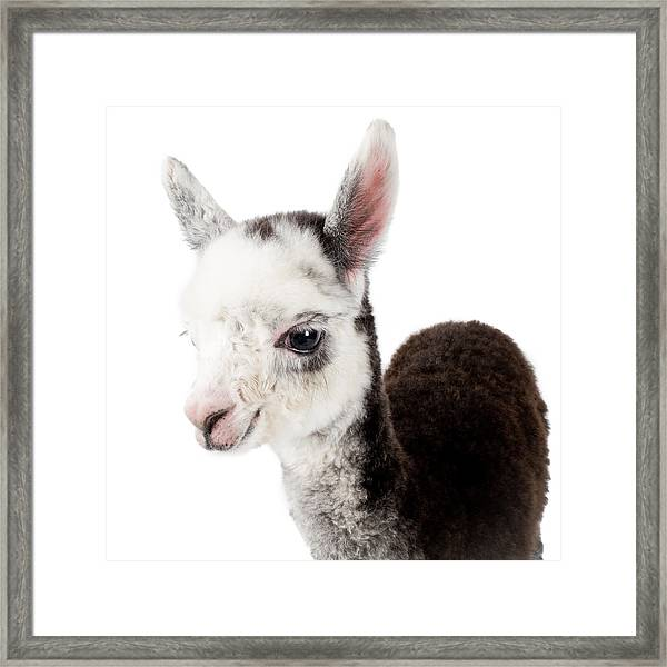 Adorable Baby Alpaca Cuteness Framed Print