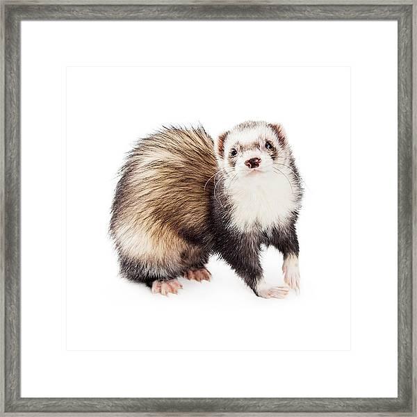 Adorable Pet Ferret Looking Into Camera Framed Print