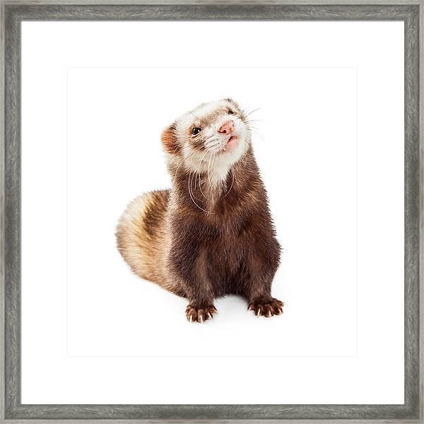 Adorable Pet Ferret Looking Up Framed Print
