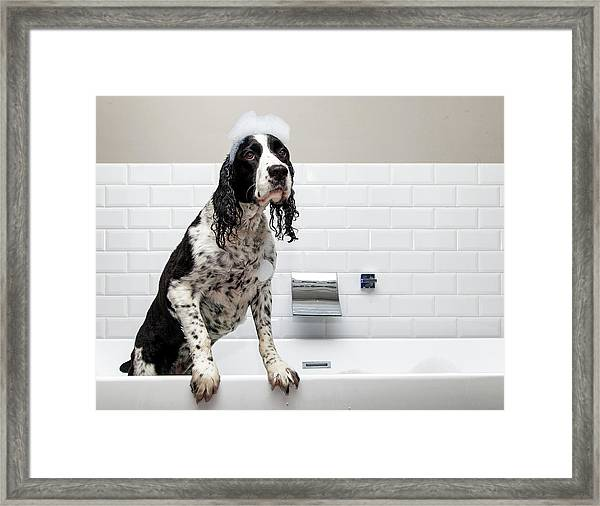 Adorable Springer Spaniel Dog In Tub Framed Print