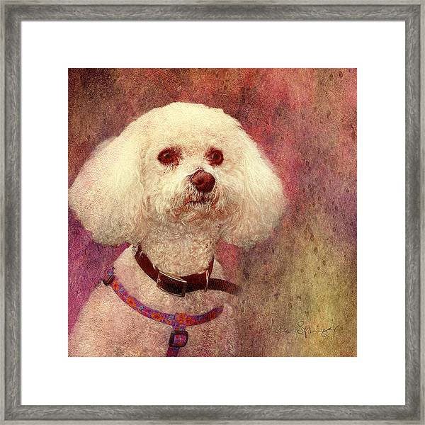 Adoration - Portrait Of A Bichon Frise  Framed Print