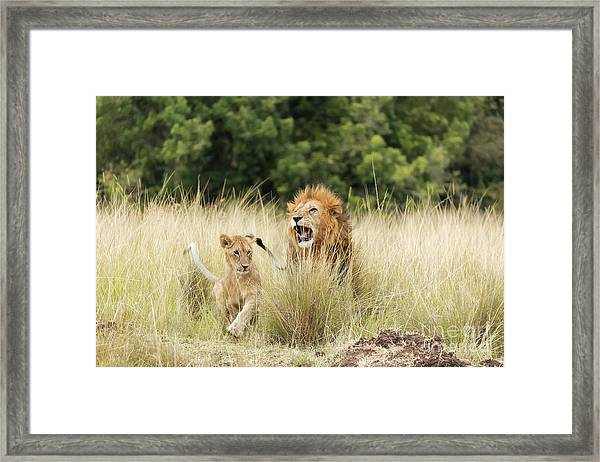 Adult Lion And Cub In The Masai Mara Framed Print