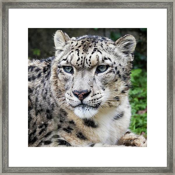 Adult Snow Leopard Portrait Framed Print