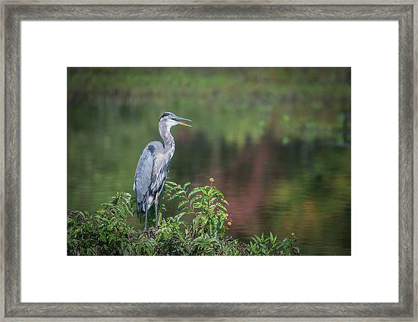 Advice From A Great Blue Heron Framed Print