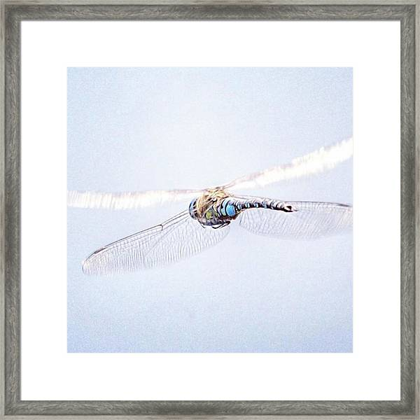 Aeshna Juncea - Common Hawker In Framed Print