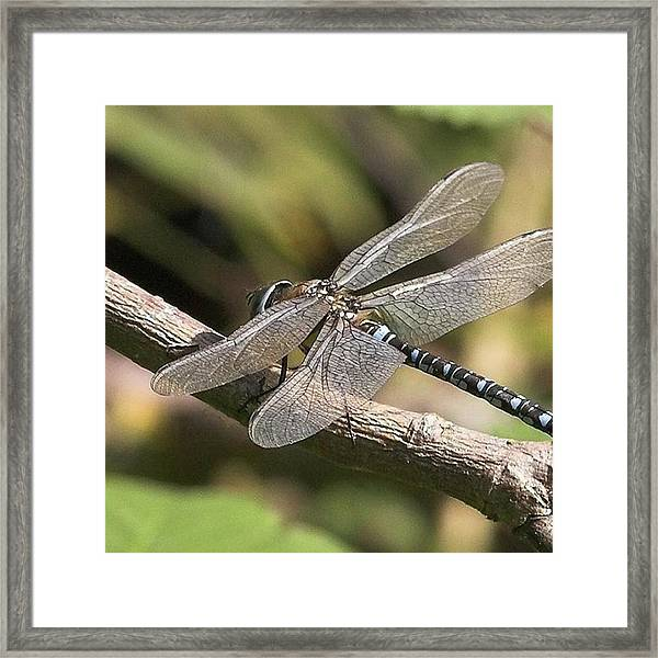 Aeshna Juncea - Common Hawker Taken At Framed Print