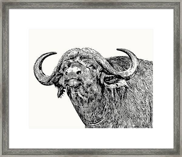 African Buffalo Bull Portrait Framed Print