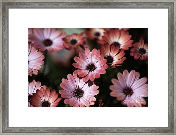 African Daisy Zion Red Framed Print