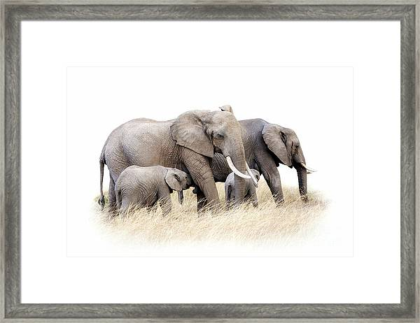 African Elephant Group Isolated Framed Print