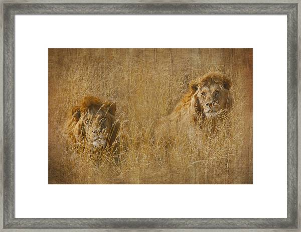 African Lion Brothers Framed Print