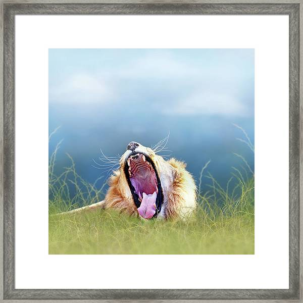 African Lion Yawning In Tall Grass Framed Print