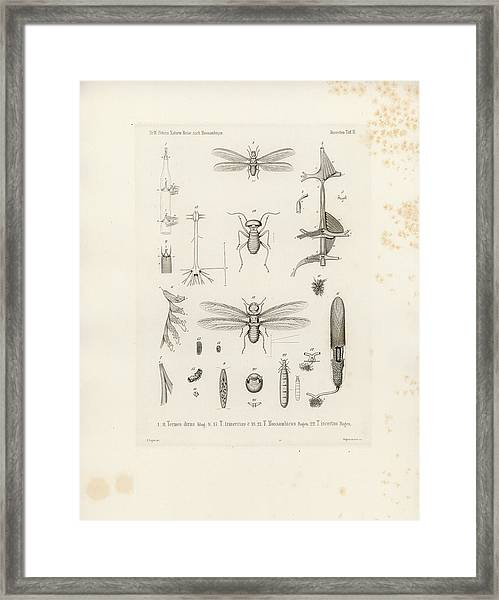 Framed Print featuring the drawing African Termites And Their Anatomy by W Wagenschieber