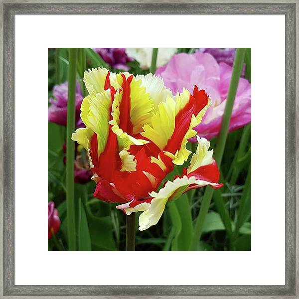After My Visit To #keukenhof #tulip Framed Print by Dante Harker