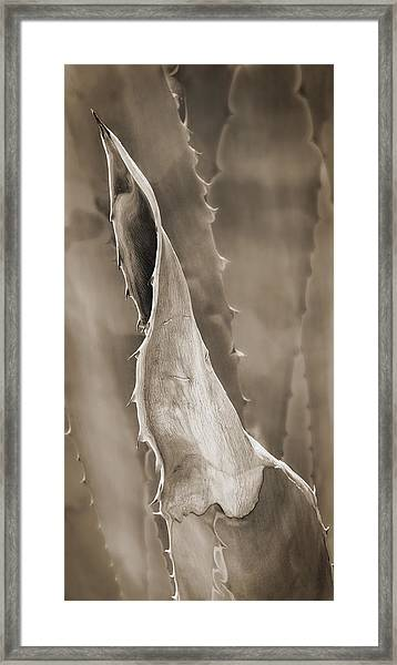 Agave Cactus Framed Print