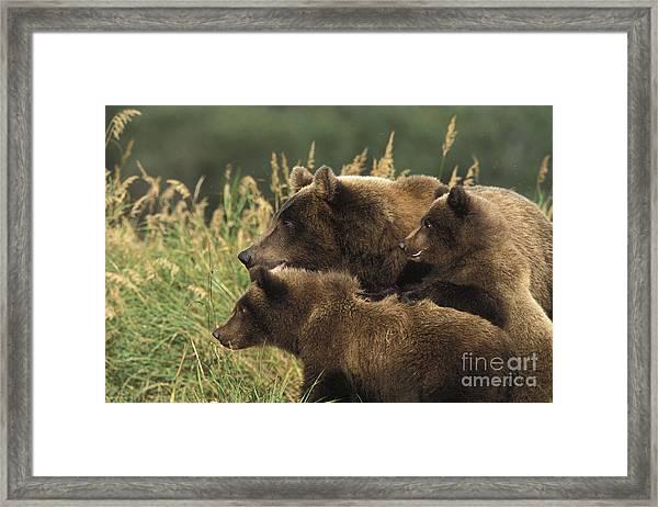 Alert Bear Family Framed Print by Tim Grams