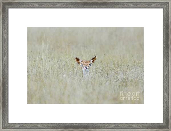 Alert Fallow Deer Fawn - Dama Dama - Laying Long In The Long Grass Framed Print