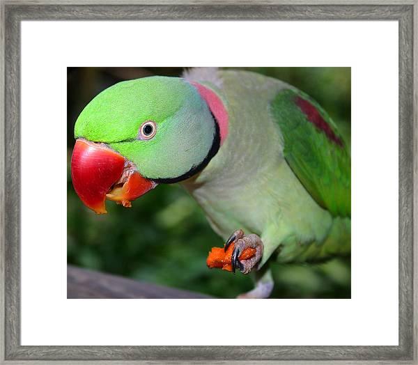 Alexandrine Parrot Feeding Framed Print by PIXELS  XPOSED Ralph A Ledergerber Photography