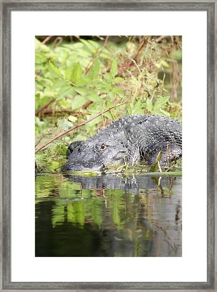 Alligator Left Shift  Framed Print