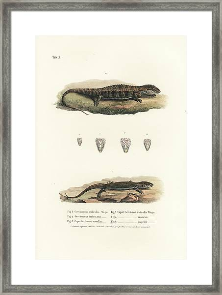 Framed Print featuring the drawing Alligator Lizards From Mexico by Friedrich August Schmidt