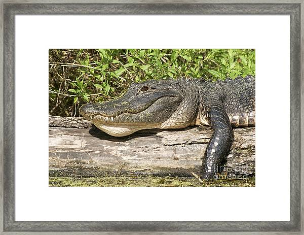 Alligator Sun Tan Framed Print