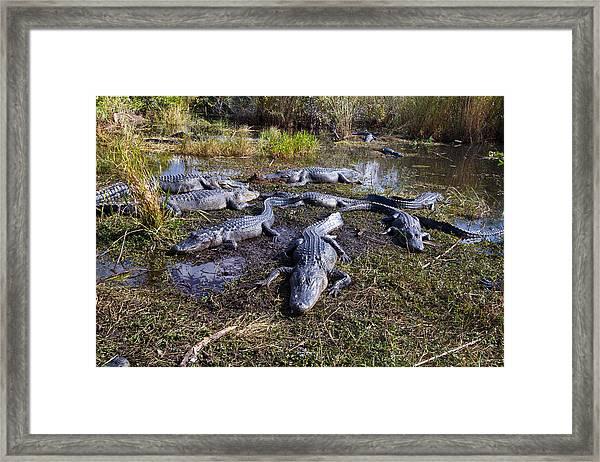 Alligators 280 Framed Print