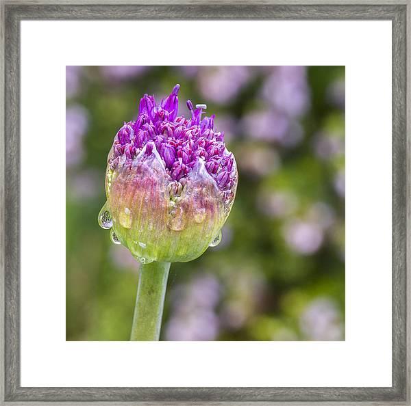 Allium Bud  Framed Print